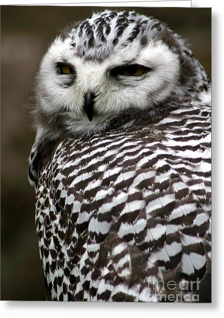 Portrait Of A Majestic Spotted Owl Greeting Card