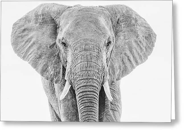 Portrait Of An African Elephant Bull In Monochrome Greeting Card
