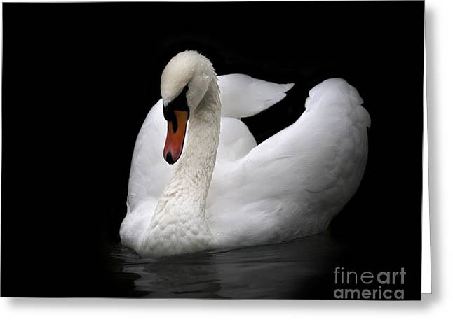 Portrait Of Whooping Swan, Isolated On Greeting Card
