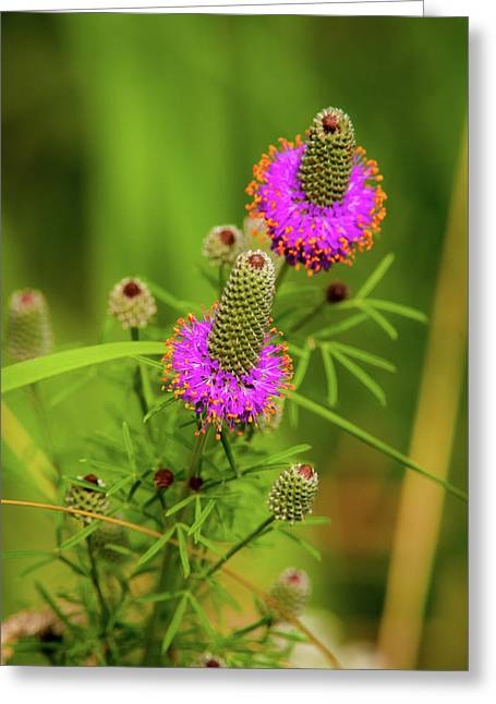 Prairie Clover Greeting Card