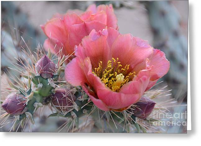 Prickly Pear Cactus With Pink Flowers Greeting Card