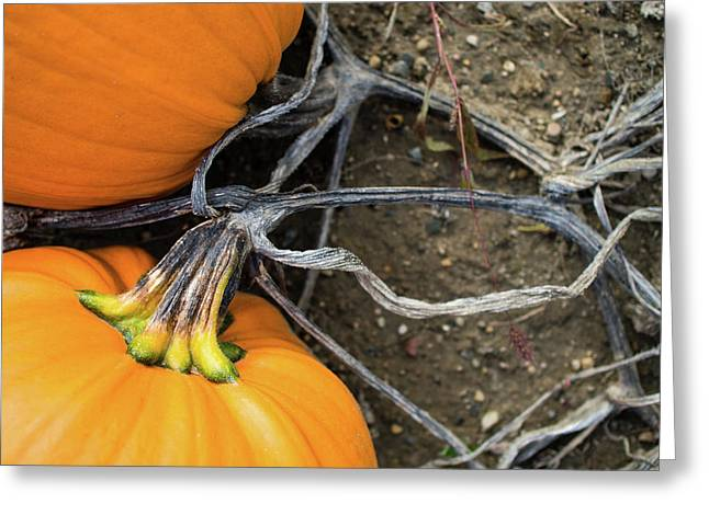 Pumpkins Entwined Together Greeting Card