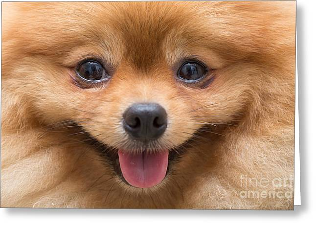 Puppy Pomeranian Dog Cute Pets In Home Greeting Card