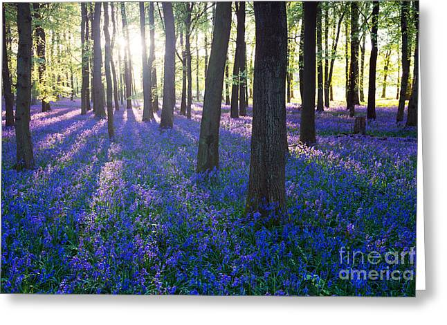 Purple Bluebell Woods In Early Morning Greeting Card