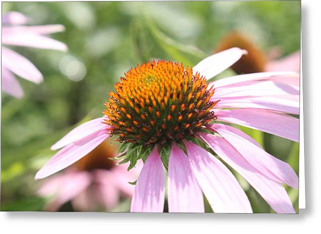 Purple Coneflower Bloom And Petals Greeting Card