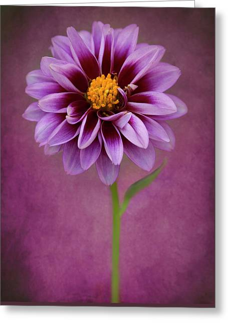 Greeting Card featuring the photograph Purple Dahlia by John Rodrigues
