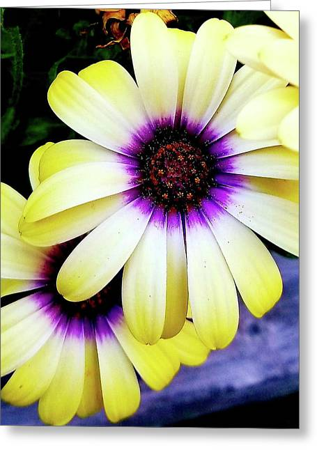 Greeting Card featuring the photograph African Daisy by Deahn      Benware