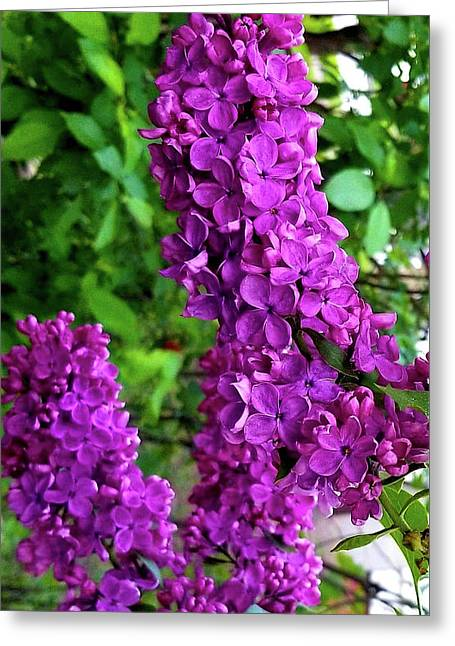 Greeting Card featuring the photograph Purple Lilac Parade by Deahn      Benware
