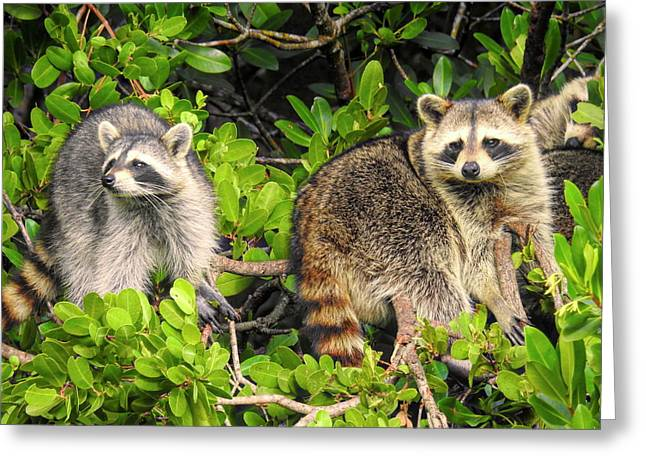 Raccoons In The Mangroves Greeting Card