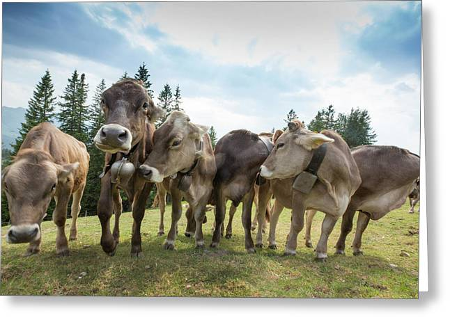 Rambunctious Swiss Cows With Cow Bells Greeting Card by Guy Midkiff