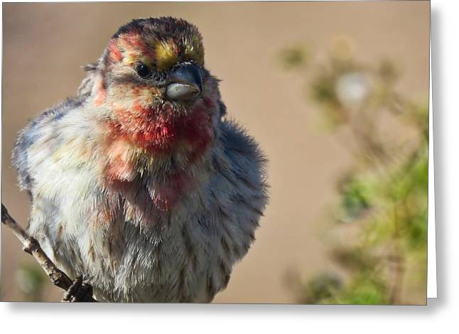Rare Multicolored Male House Finch Greeting Card