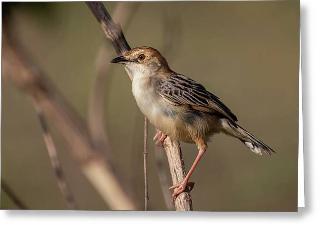 Rattling Cisticola Greeting Card