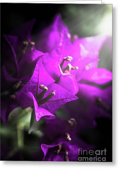 Rays Of Bougainvillea Greeting Card