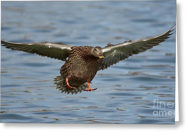 Ready For Landing Greeting Card