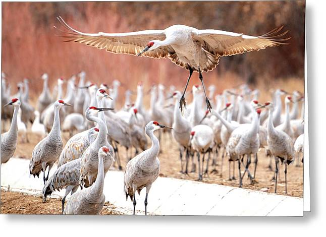 Ready Or Not, Here I Come -- Sandhill Cranes Greeting Card