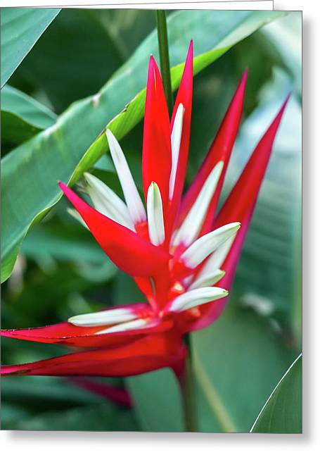 Red And White Birds Of Paradise Greeting Card