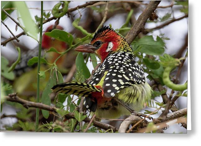 Red-and-yellow Barbet Greeting Card