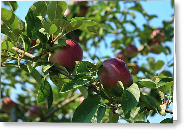 Greeting Card featuring the photograph Red Apples In The Apple Tree by Tatiana Travelways