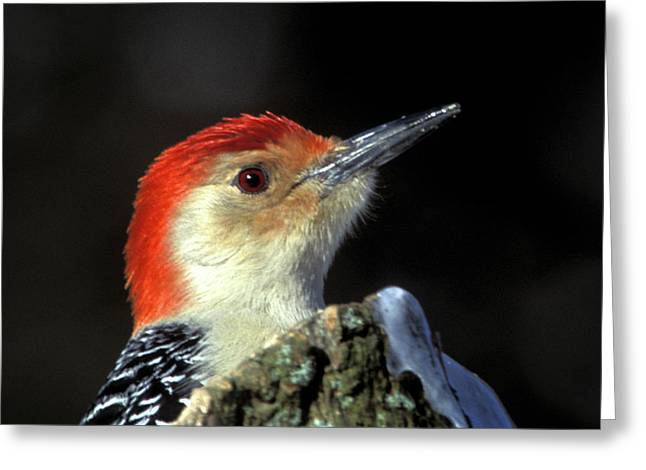 Greeting Card featuring the photograph Red Bellied Woodpecker by Jeff Phillippi