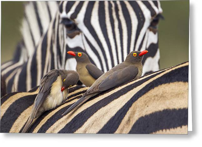 Red-billed Buffalo-weaver In Kruger Greeting Card