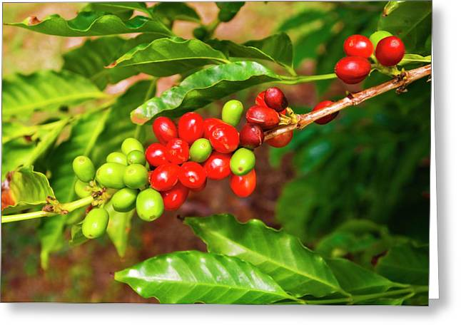 Red Coffee Cherries On The Vine Greeting Card by Russ Bishop