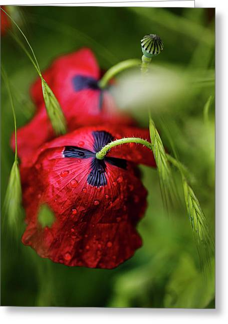 Red Corn Poppy Flowers With Dew Drops Greeting Card