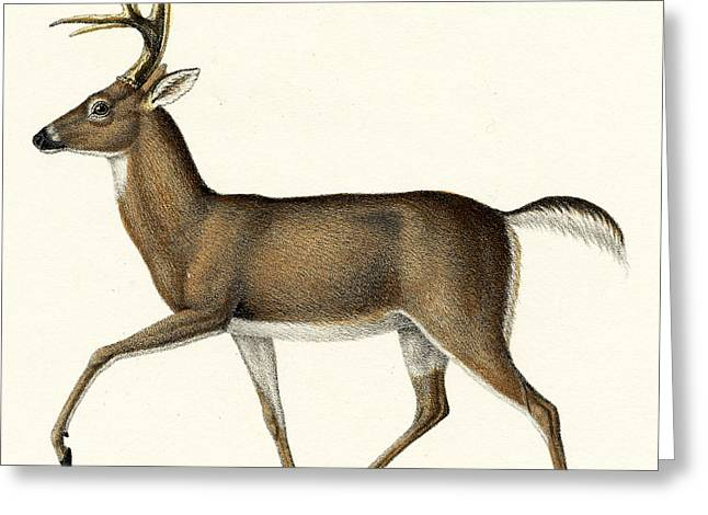 Red Deer, 1824 Colour Litho Greeting Card