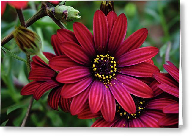 Red Flower - 19-5611 Greeting Card