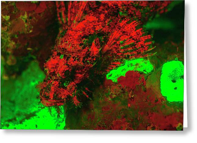 Red Fluorescing Scorpionfish Surrounded Greeting Card by Stuart Westmorland