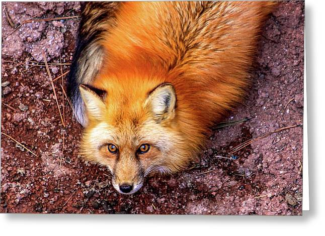 Red Fox In Canyon, Arizona Greeting Card