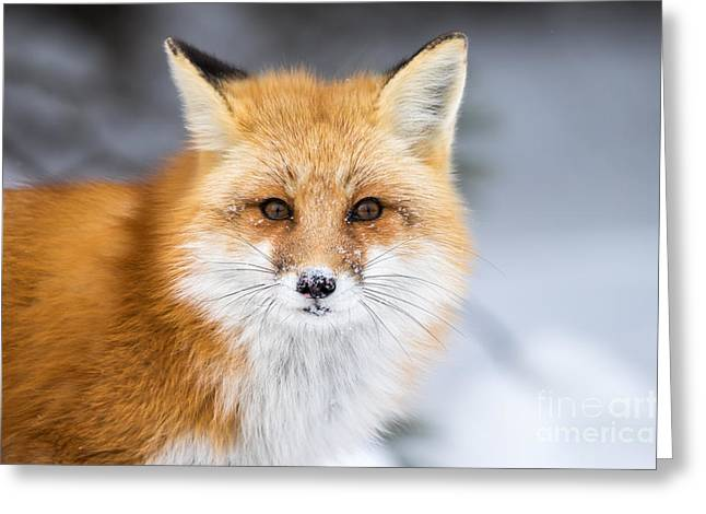 Red Fox, Vulpes Vulpes, In A Snowy Greeting Card