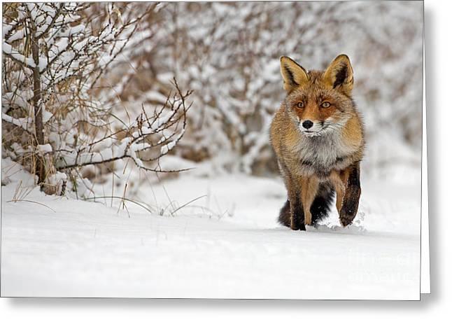 Red Fox Walks Through The Snow Greeting Card