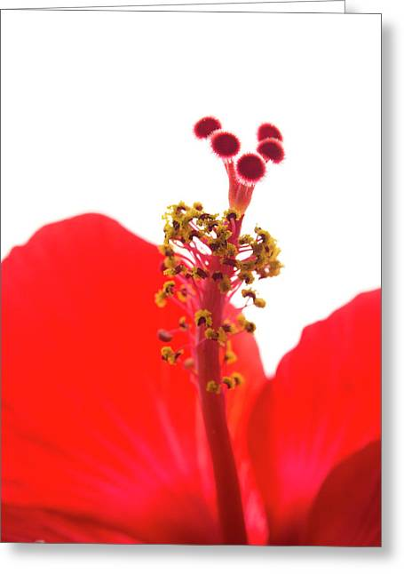Red Hibiscus Macro Greeting Card