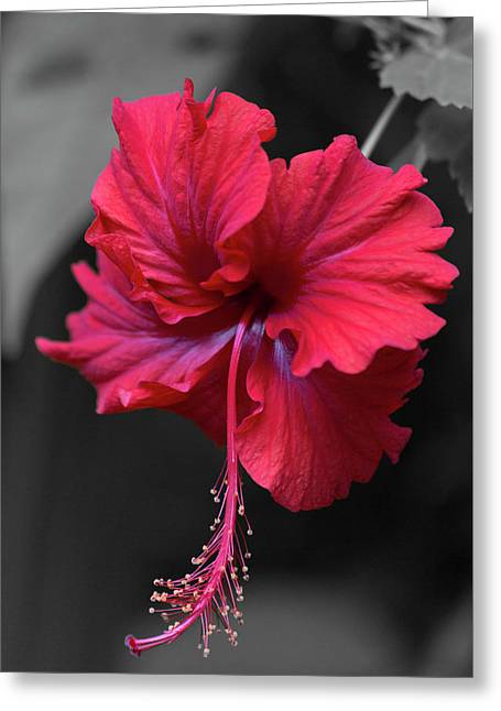 Red Hibiscus Portrait Greeting Card