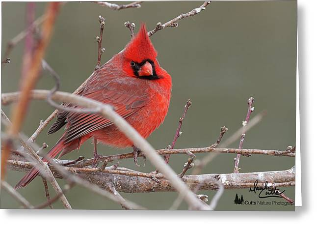 Red In Winter Greeting Card