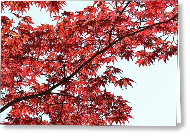 Greeting Card featuring the photograph Red Japanese Maple Leaves by Debi Dalio