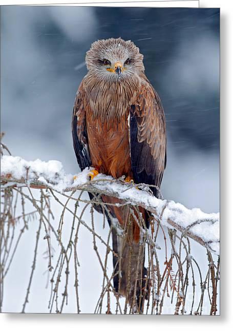 Red Kite, Milvus Milvus, Sitting On The Greeting Card