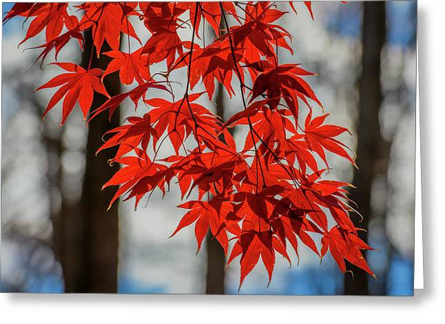 Greeting Card featuring the photograph Red Leaves by Cindy Lark Hartman
