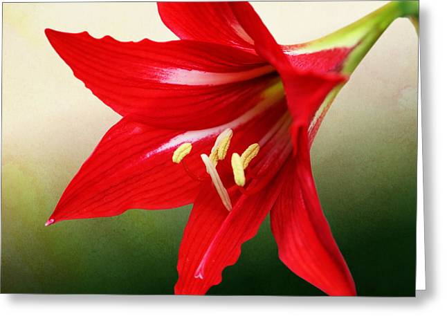 Red Lily Flower Greeting Card