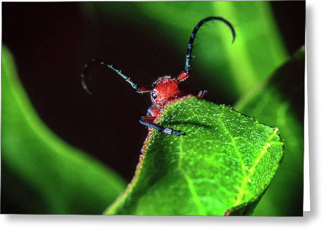 Greeting Card featuring the photograph Red Milkweed Beetle by Jeff Phillippi