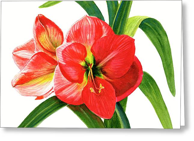 Red Orange Amaryllis Square Design Greeting Card