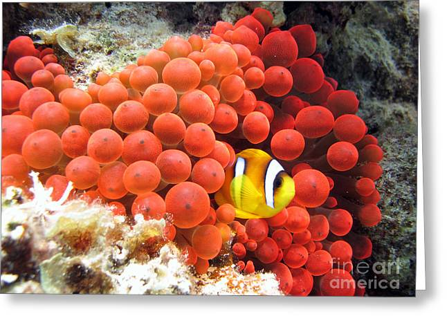 Red Sea Anemonefish In Red Anemone Greeting Card