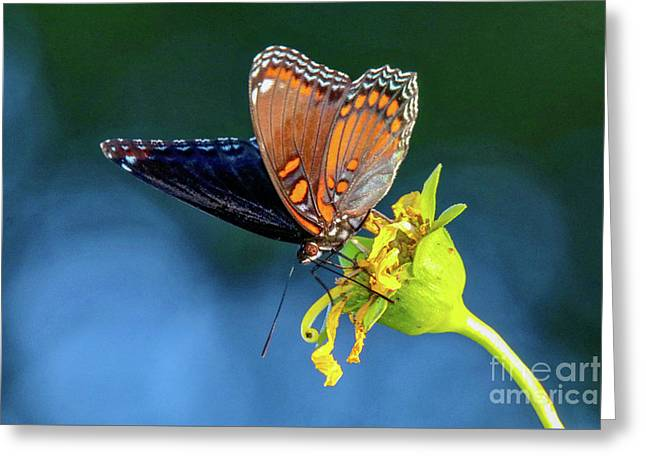 Red-spotted Purple Butterfly Greeting Card