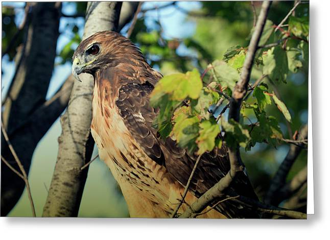 Greeting Card featuring the photograph Red-tailed Hawk Looking Down From Tree by Rick Veldman