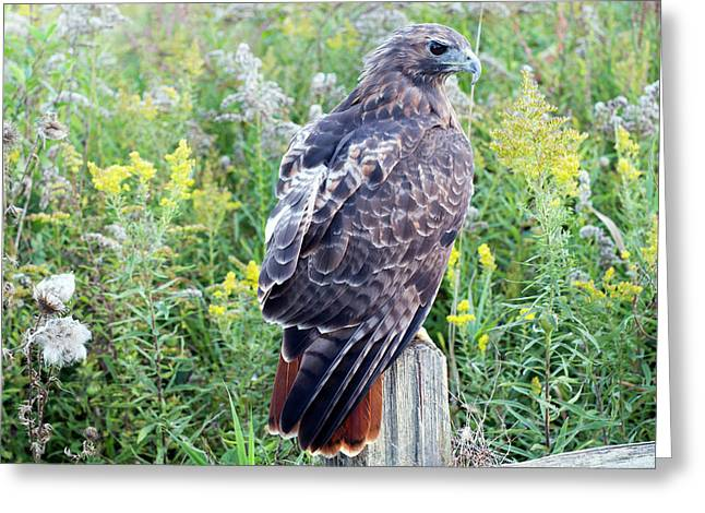 Greeting Card featuring the photograph Red-tailed Hawk On Fence Post by Rick Veldman
