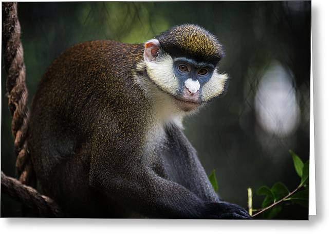 Red-tailed Monkey Greeting Card