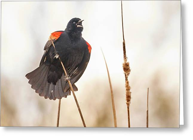 Red-winged Blackbird Claims His Spot Greeting Card