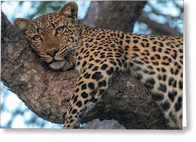 Relaxed Leopard Greeting Card