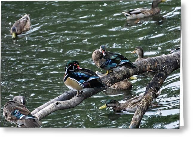 Resting Ducks Greeting Card