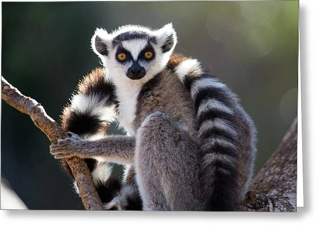 Ring-tailed Lemur Sitting On A Tree Greeting Card